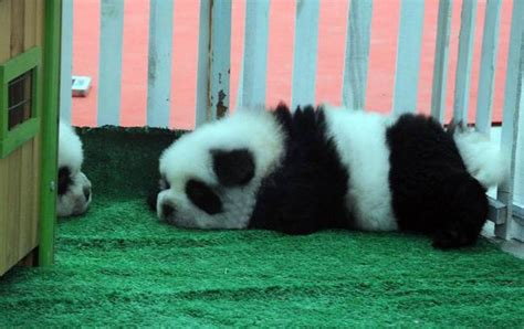 panda dogs panda dogs are the new big thing in china