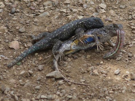 What Do Backyard Lizards Eat by 100 What Do Backyard Lizards Eat Sagebrush Lizard What Eats Crocodiles