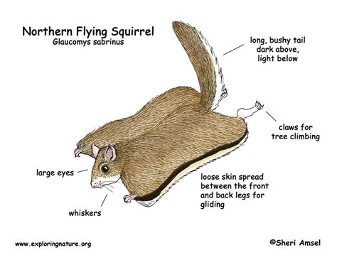 squirrel anatomy diagram 7 best images of squirrel anatomy diagram eastern gray