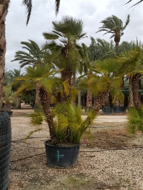 mediterranean fan palm tree chamaerops humilis palm trees mediterranean fan palm