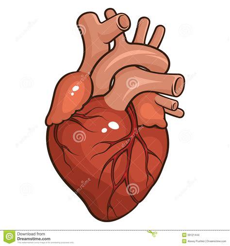 imagenes reales corazon humano coraz 243 n humano ilustraci 243 n del vector imagen 39121444