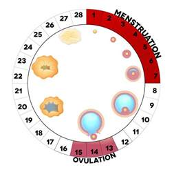Babyhopes Ovulation Calendar When Does Ovulation Occur