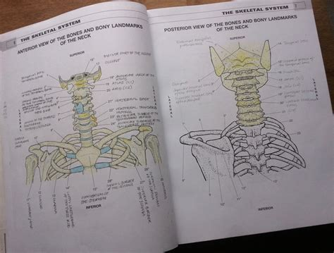 musculoskeletal anatomy coloring book free learning anatomy