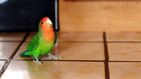pappagalli inseparabili alimentazione inseparabile facciarosa agapornis roseicollis animali