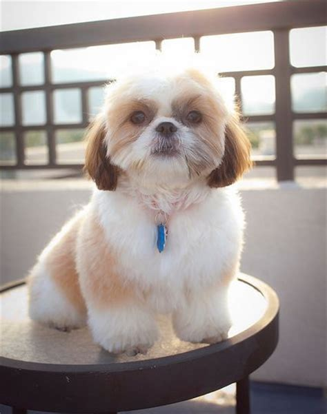 teddy shih tzu teddy cut shih tzu pictures to pin on pinsdaddy