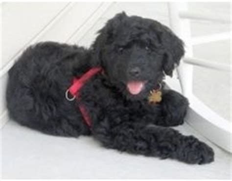 poodle rottweiler mix rottle rottweiler poodle mix info temperament puppies pictures