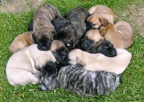 puppy litter gallant mastiffs puppies
