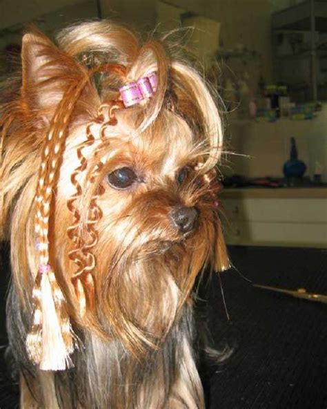 haircuts for female yorkies yorkie haircuts 100 yorkshire terrier hairstyles