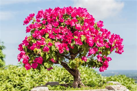 Bougainvillea Pflanze Winterhart 6740 by Drillingsblume Als Bonsai Erziehen 187 So Geht S Bougainvillea