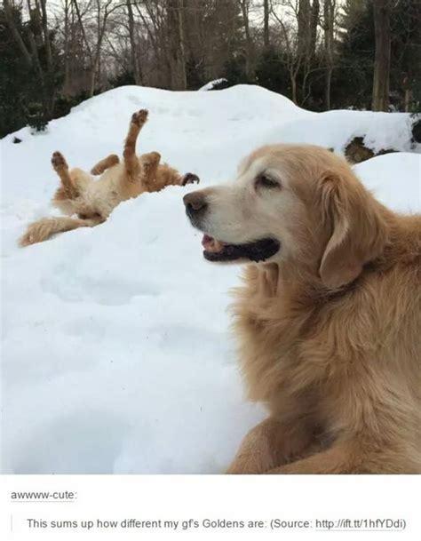 Golden Retriever Meme - 2 different golden retrievers dogs know your meme