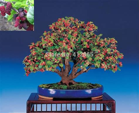 Bibit Tanaman Orange Siklam Cactus 457 best images about bonsai fruit on