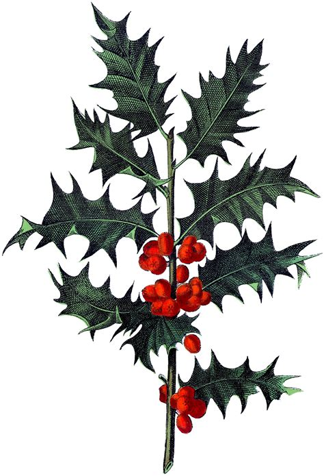 antique botanical holly image  graphics fairy