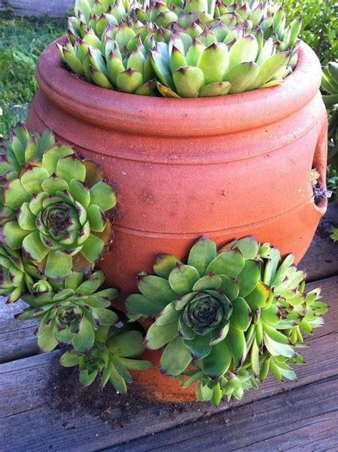 Hen And Planter by One Hen And Rosette For Your Garden Sempervivum