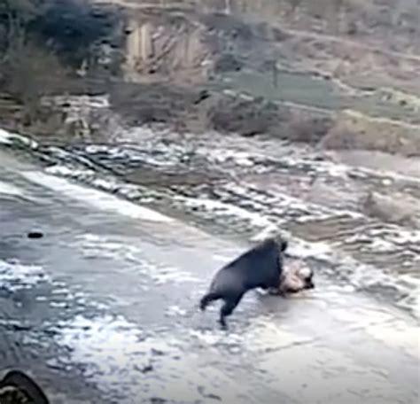 cucinare il cinghiale selvatico cinghiale selvatico uccide un uomo e attacca anche una