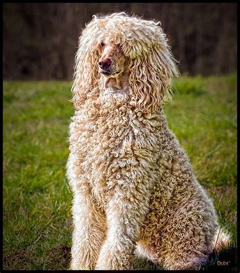 Poodles Long Hair In Winter | 17 best images about everything poodle on pinterest