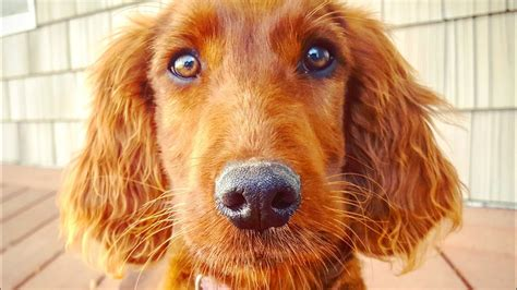 irish setter dog youtube beautiful irish setter puppy in training service dog or