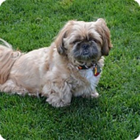 shih tzu boise boise id shih tzu meet maggie a for adoption