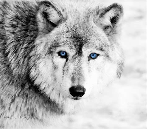 eyes of the wolf photograph by straublund photography