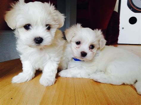 kyi leo puppies for sale maltese x lhasa pups kyi leo manchester greater manchester pets4homes