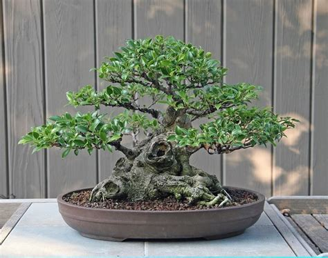 bonsai da appartamento ficus micro carpa bonsai ficus ficus micro carpa