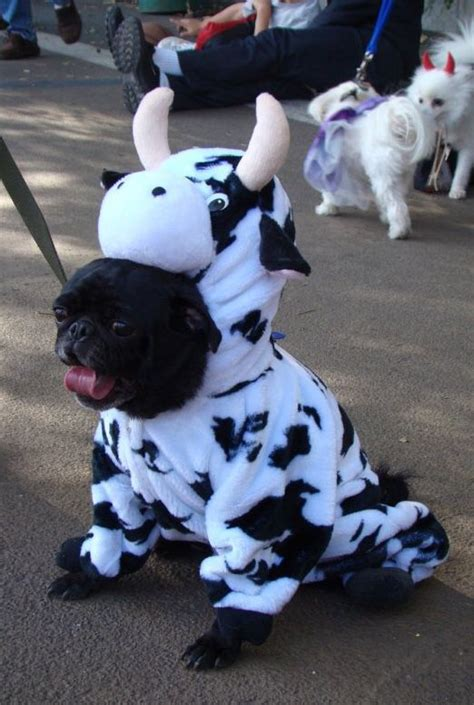 pug suit costume cow suit pug pugs pug suits and cow