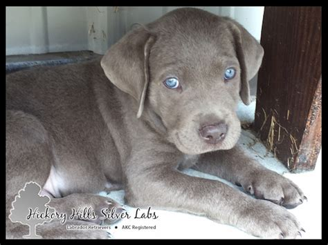 labrador puppies indiana labrador breeders cities dogs in our photo