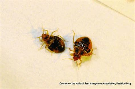 little brown bugs in bed don t let the bed bugs bite tips for prevention and