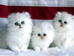 Cute Persian Cat Wallpapers HD / Desktop and Mobile