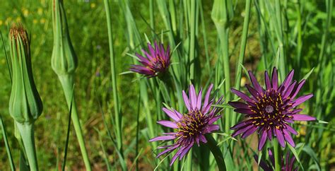 What To Plant In The Fall Garden - salsify tragopogon porrifolius the landscape of us