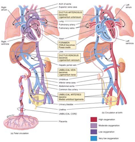 fetal circulation diagram diagrams of fetal circulation fetal circulation diagram