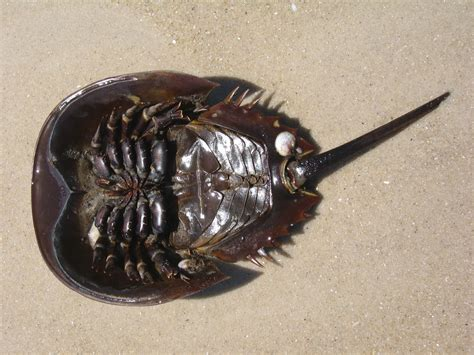 house shoe crab real monstrosities horseshoe crab