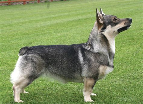 uncommon breeds pin swedish vallhund picture on