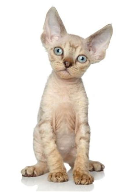 Non Shedding Cat Breeds by Hypoallergenic Cat Breeds