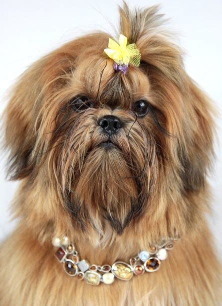 grown shih tzu pin by maura fashjian on 2 shih tzu joli ele