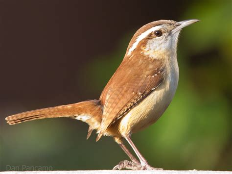 carolina wren flickr photo sharing