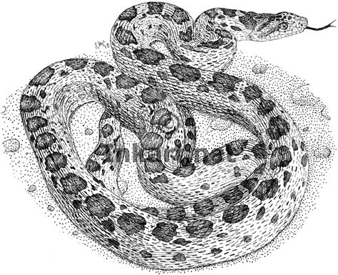bull snake coloring page free coloring pages of bull snake