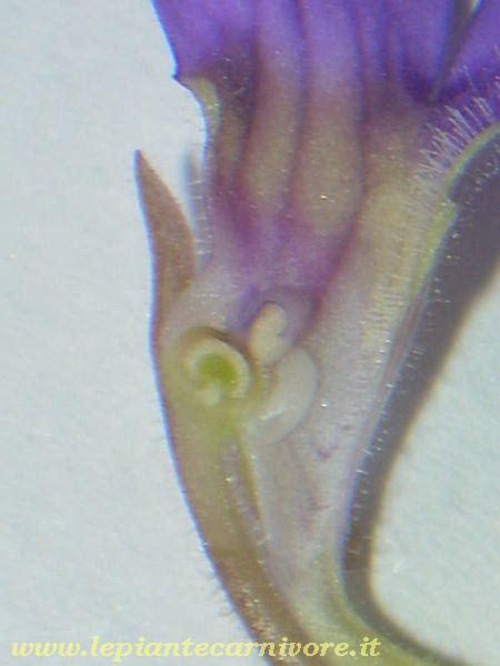 anatomia fiore anatomia fiore pinguicula