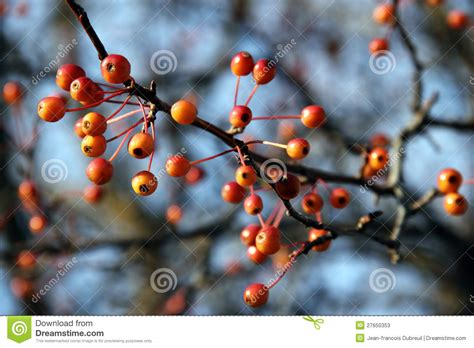 orange berries on leafless branches stock photos image 27650353