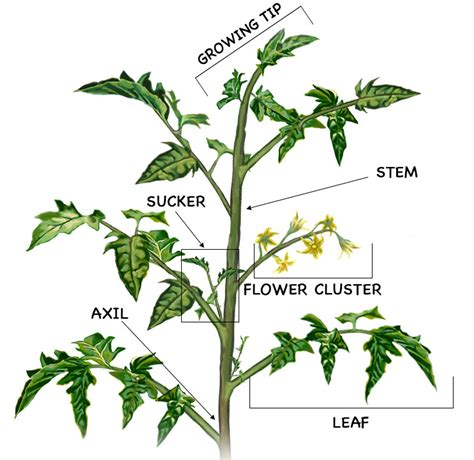 diagram of a tomato plant how to prune tomatoes for a big harvest bonnie plants