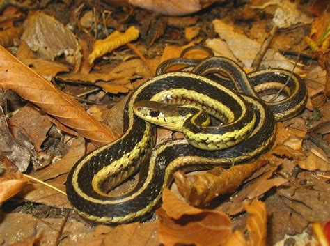 Garter Snake How Big Brown Garter Snake Images Wallpaper