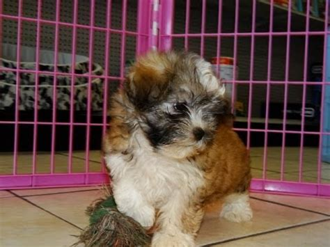 dogs for sale in sc in columbia south carolina sc hava tzu puppies dogs for sale near mount