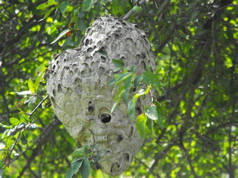 bees nest in an apple tree by 1jerry1 photo weather