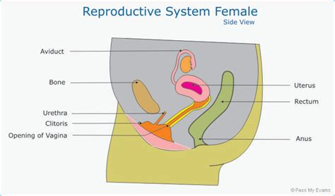 s reproductive system diagram reproductive system diagram gcse image collections