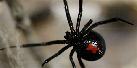 black widow black widows found on grapes at supermarkets in several states