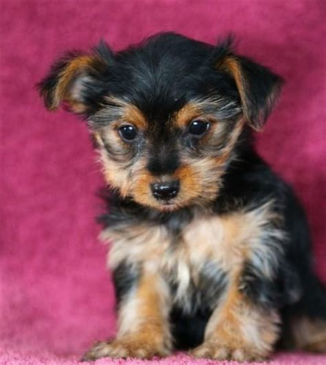 brown yorkie brown yorkie puppies pictures to pin on pinsdaddy