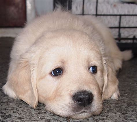golden retriever puppies for sale in orlando labrador dogs puppies pets horses for sale australia picture breeds picture