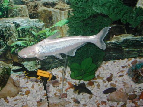 catfish in the bathtub short story 49 best aquarium catfish images on pinterest