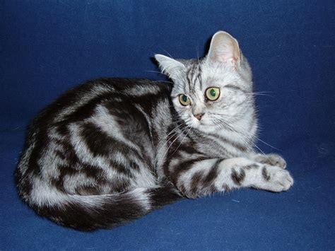 tabby cat wikipedia file british shorthair classic tabby jpg wikimedia commons