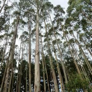 Celosia Flower Australian Seed Eucalyptus Globulus