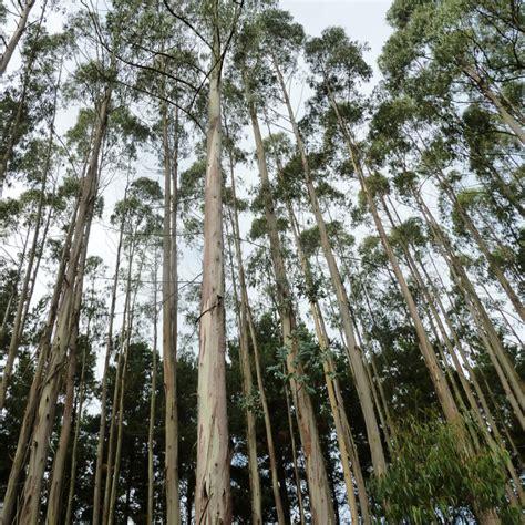 Winter Flowers by Australian Seed Eucalyptus Globulus